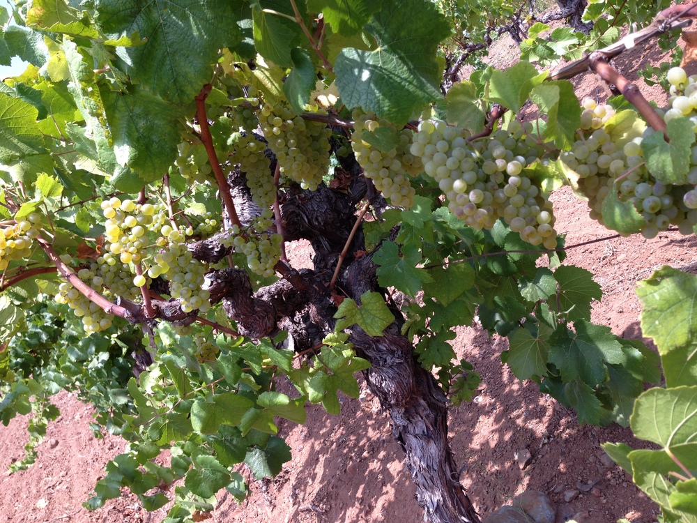 Chuy Old Vine with Grapes.jpg