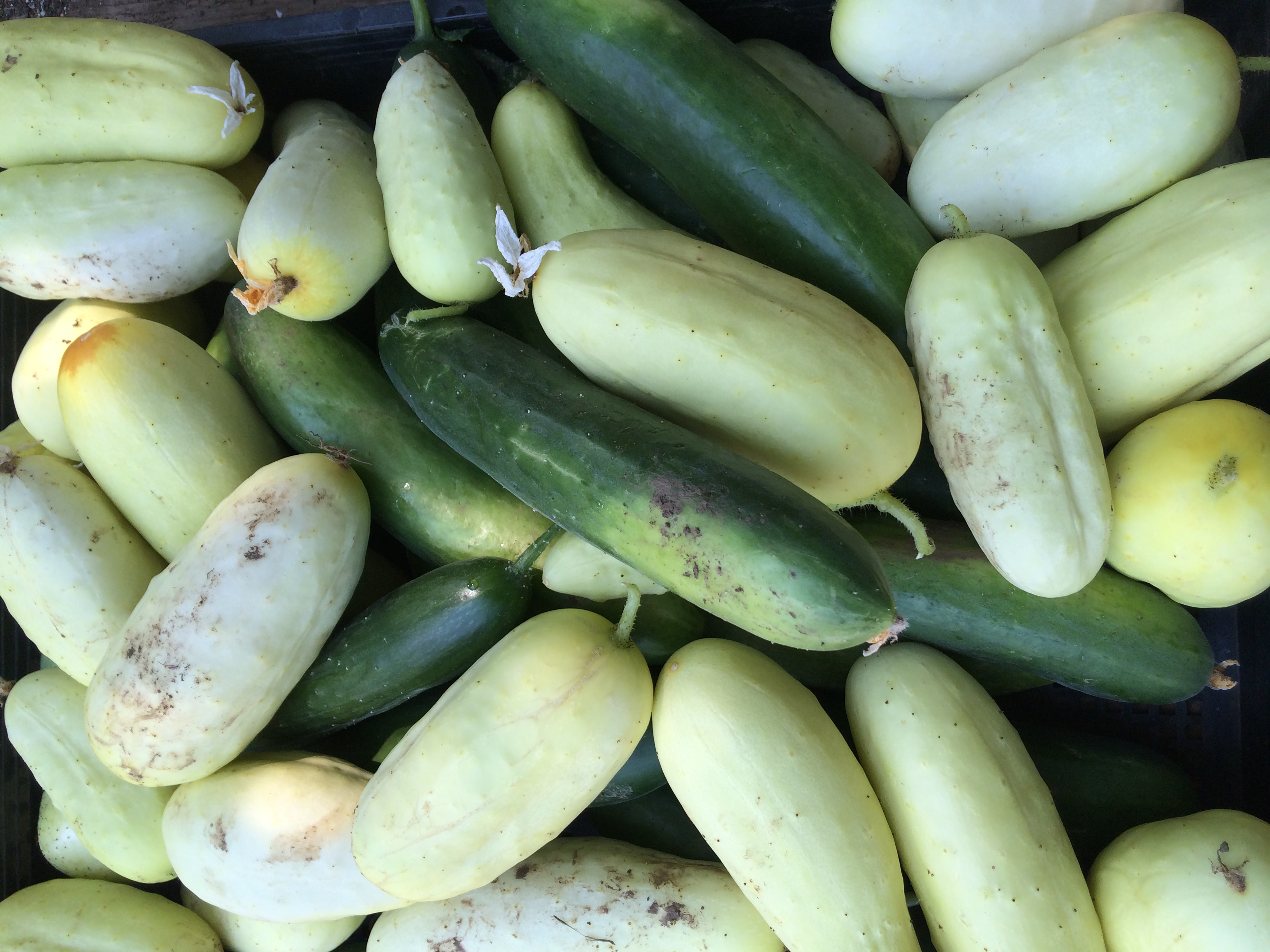 Beautiful August cucumbers.