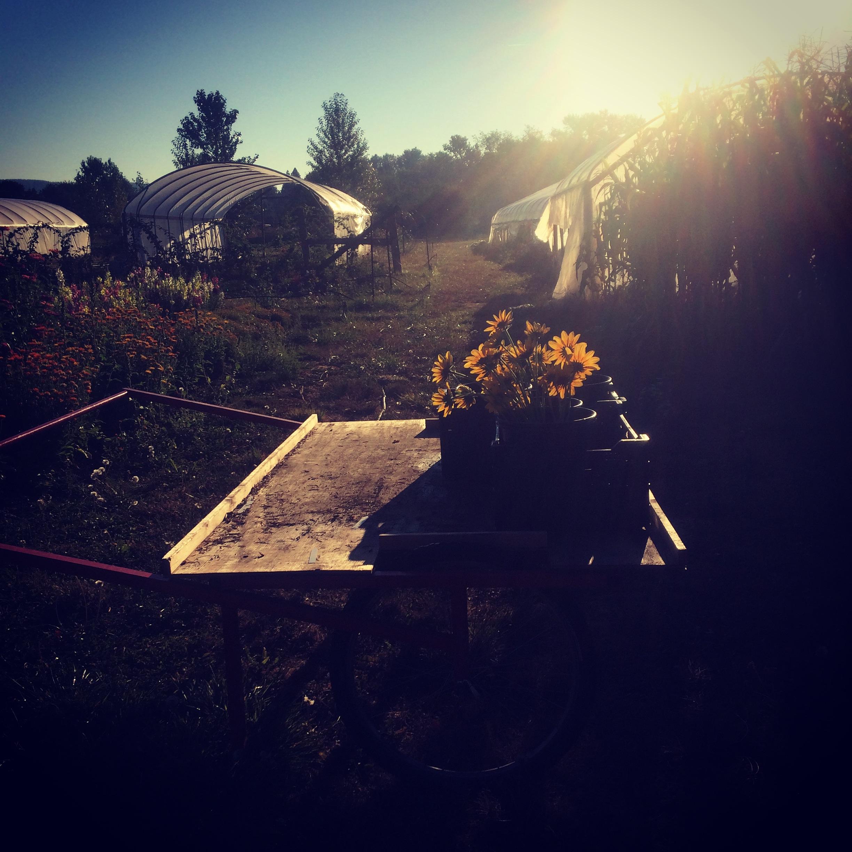 Early morning flower harvest.