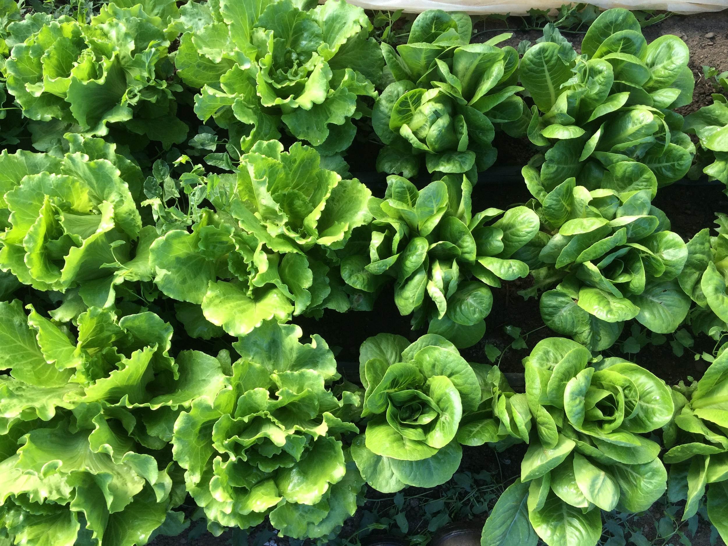 Head lettuce ready for harvest.