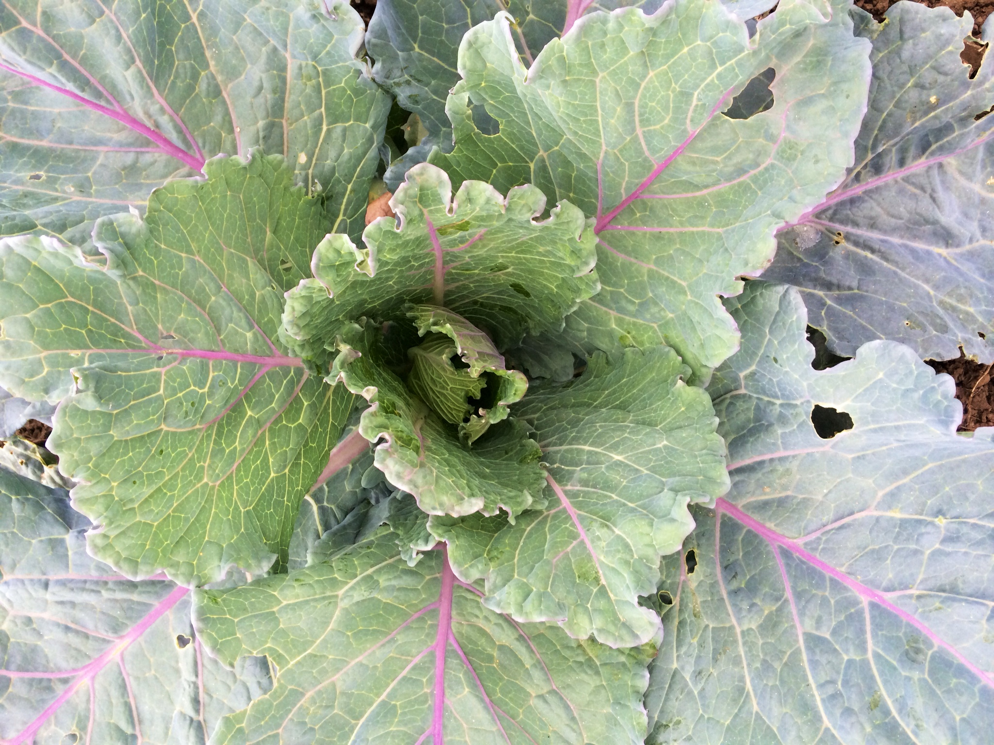 Cabbage for January.