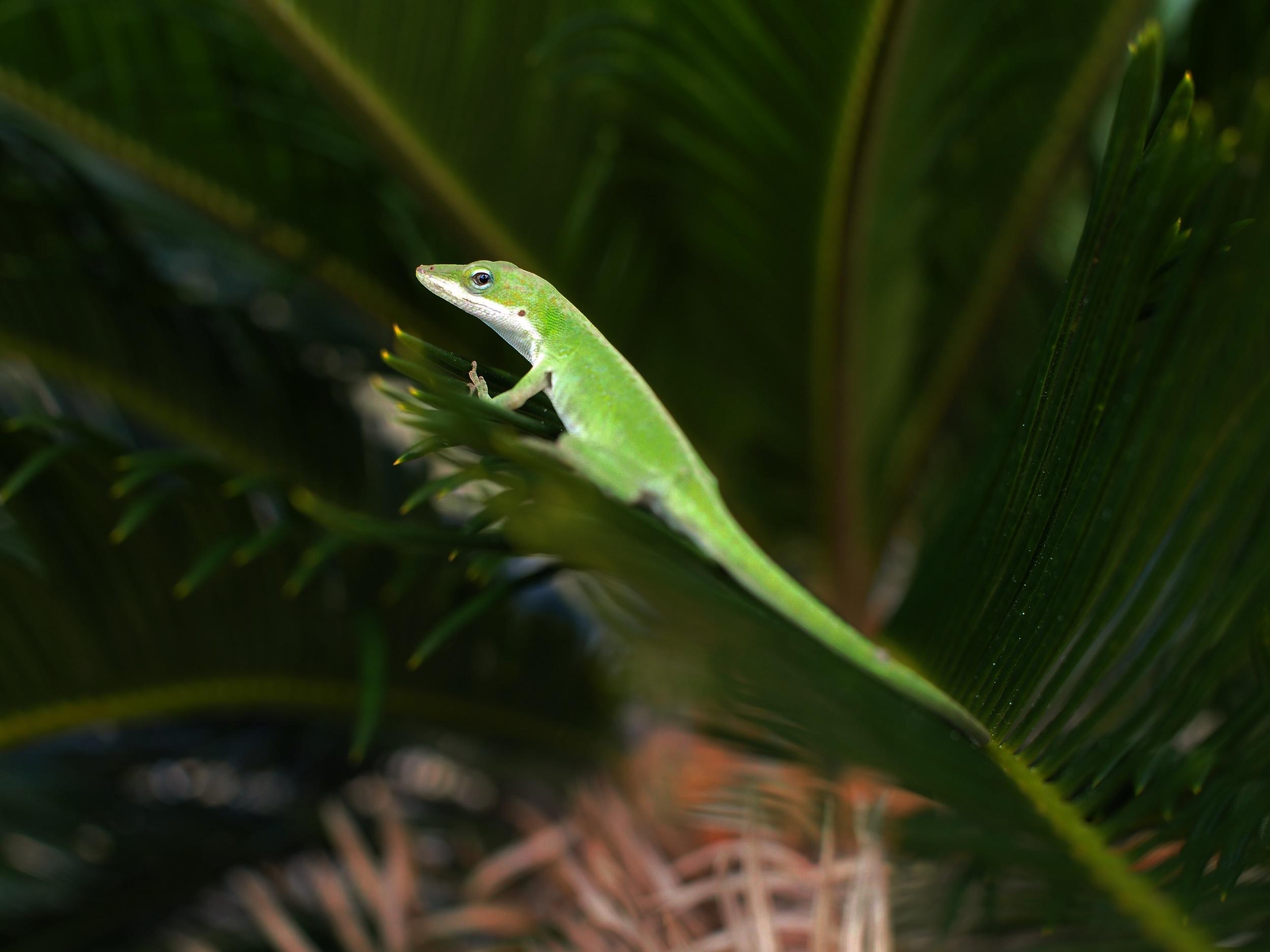 Lizard on a Sago Palm — Mexico Beach, Florida.