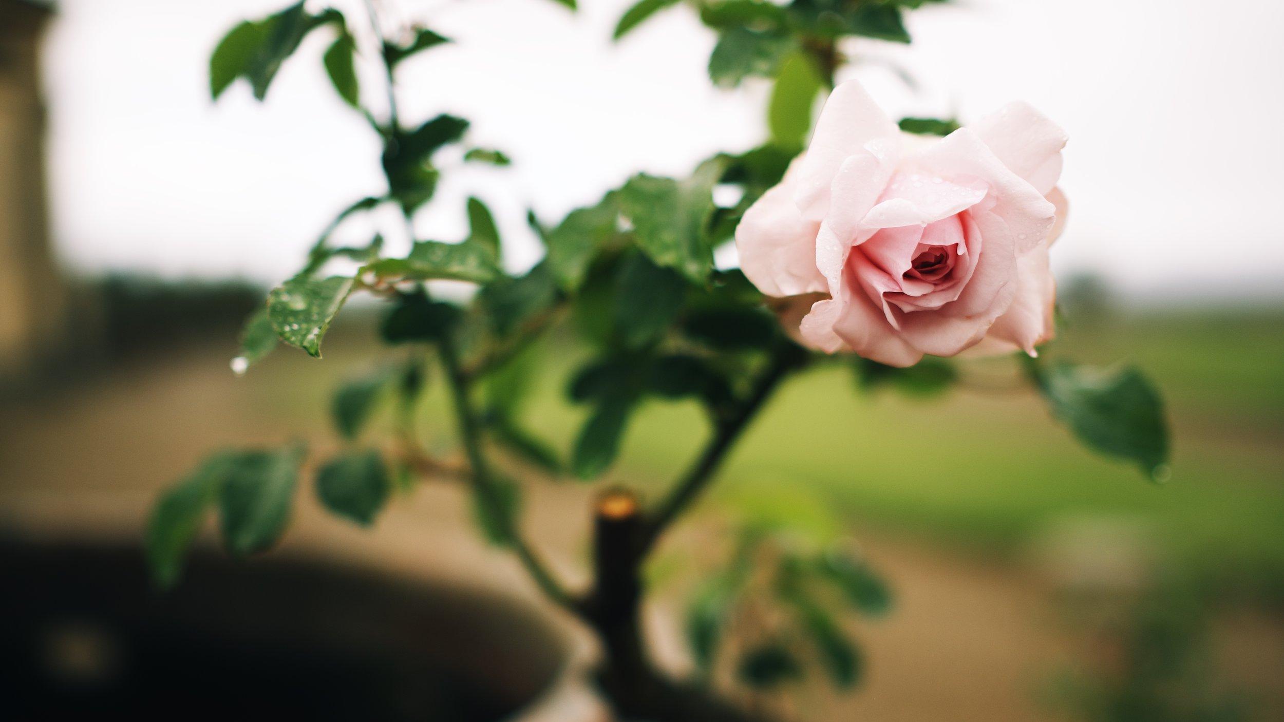 Rosa Di Medici.jpg