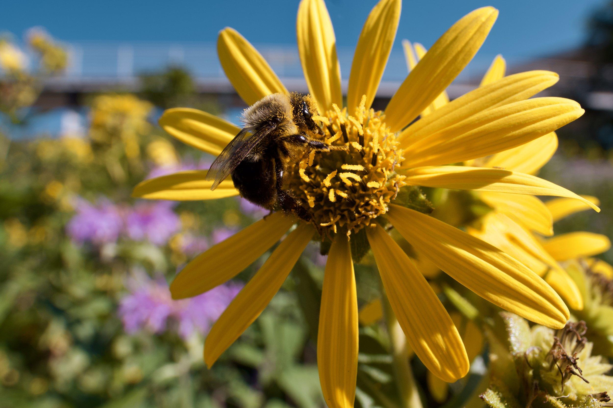bumblebee20190808-1.jpeg