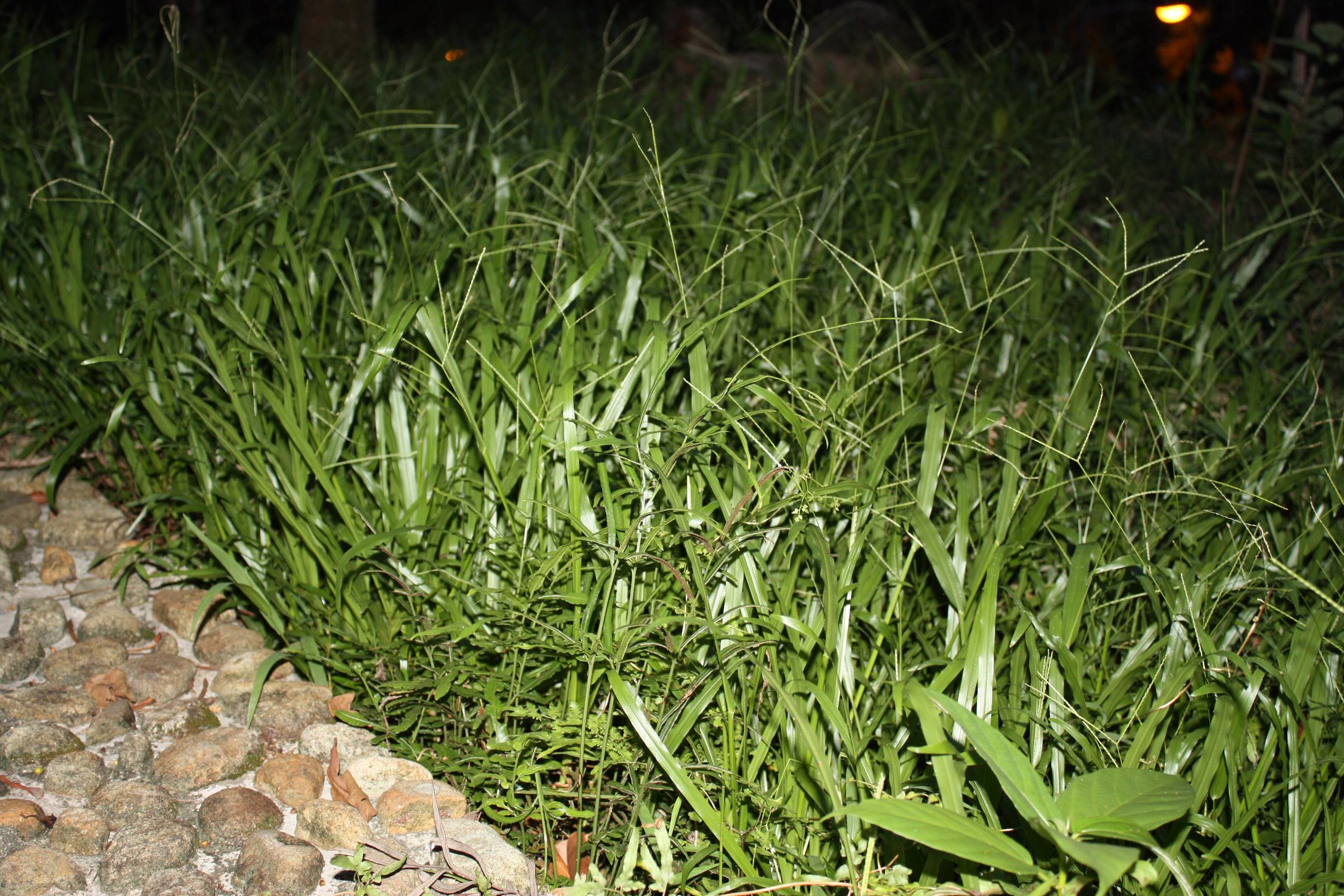 alas the fresh grass