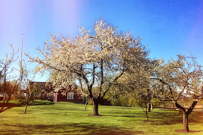 Förutom äppelträden, som ni kunde läsa om i bildgalleriet om hösten, finns det flera plommonträd och päronträd här.