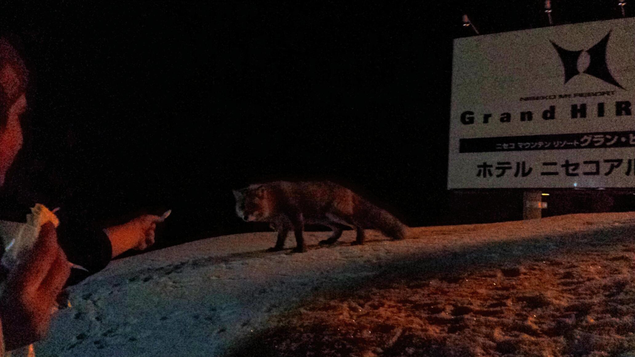 Here foxy foxy