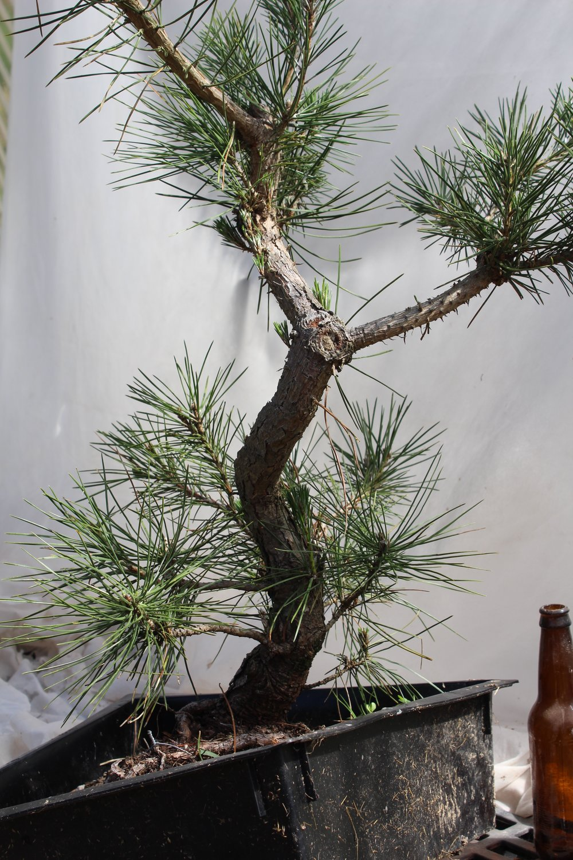 Japanese Black Pine 35 Driftwood Bonsai