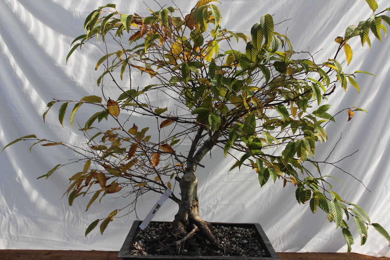 Pre Bonsai Driftwood Bonsai
