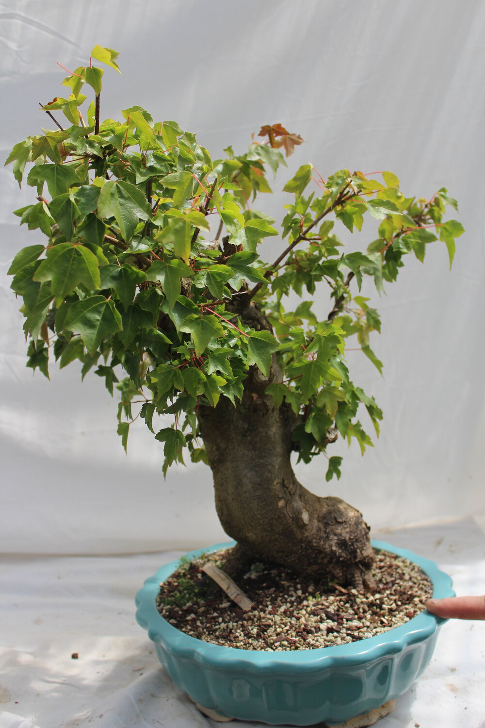 Trident Maple Bonsai 8 Driftwood Bonsai