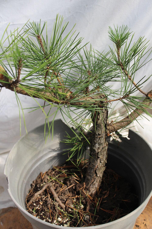 Japanese Black Pine 81 Driftwood Bonsai