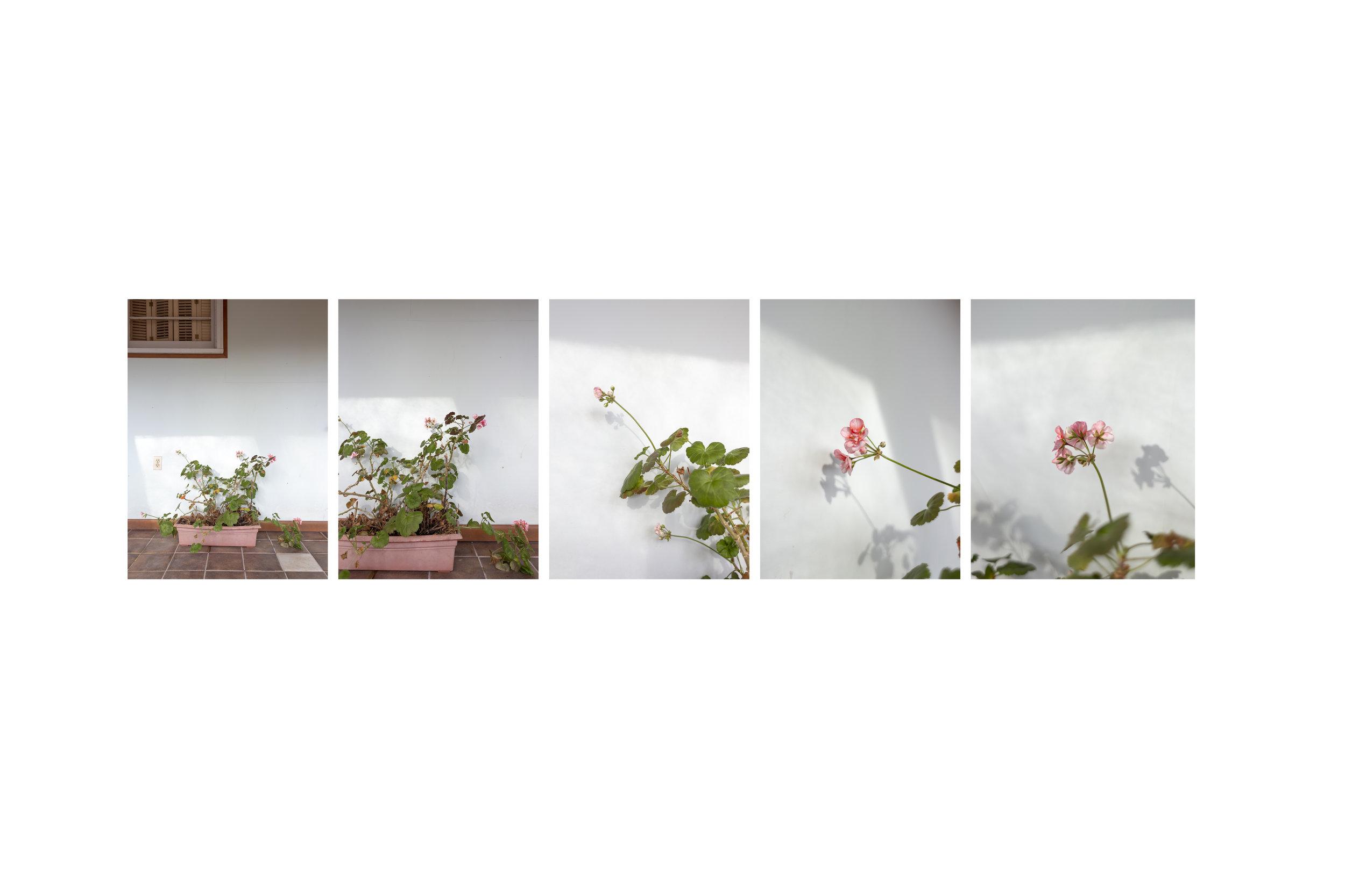 neglected geranium study, 2019