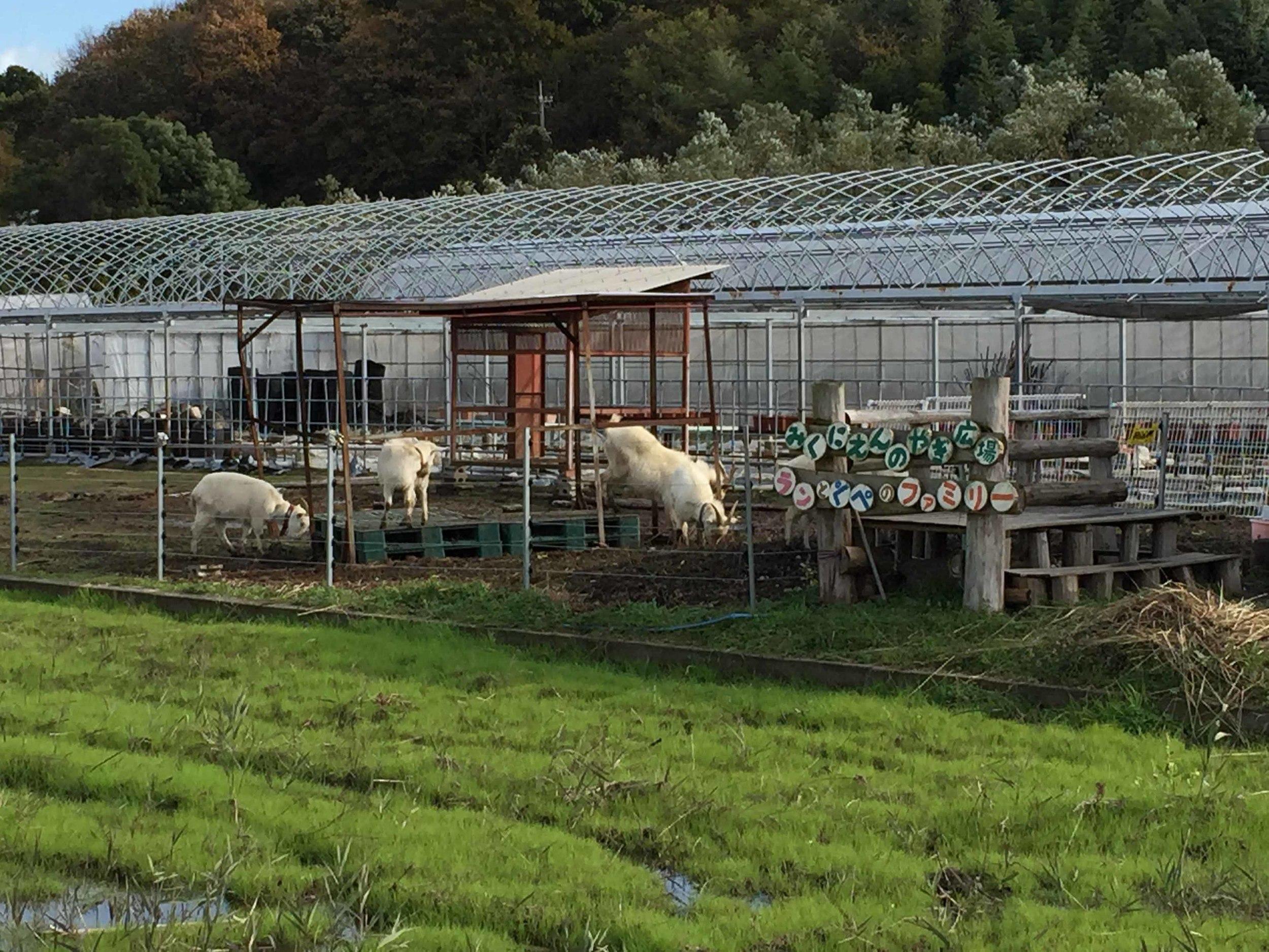 路邊遇見小羊