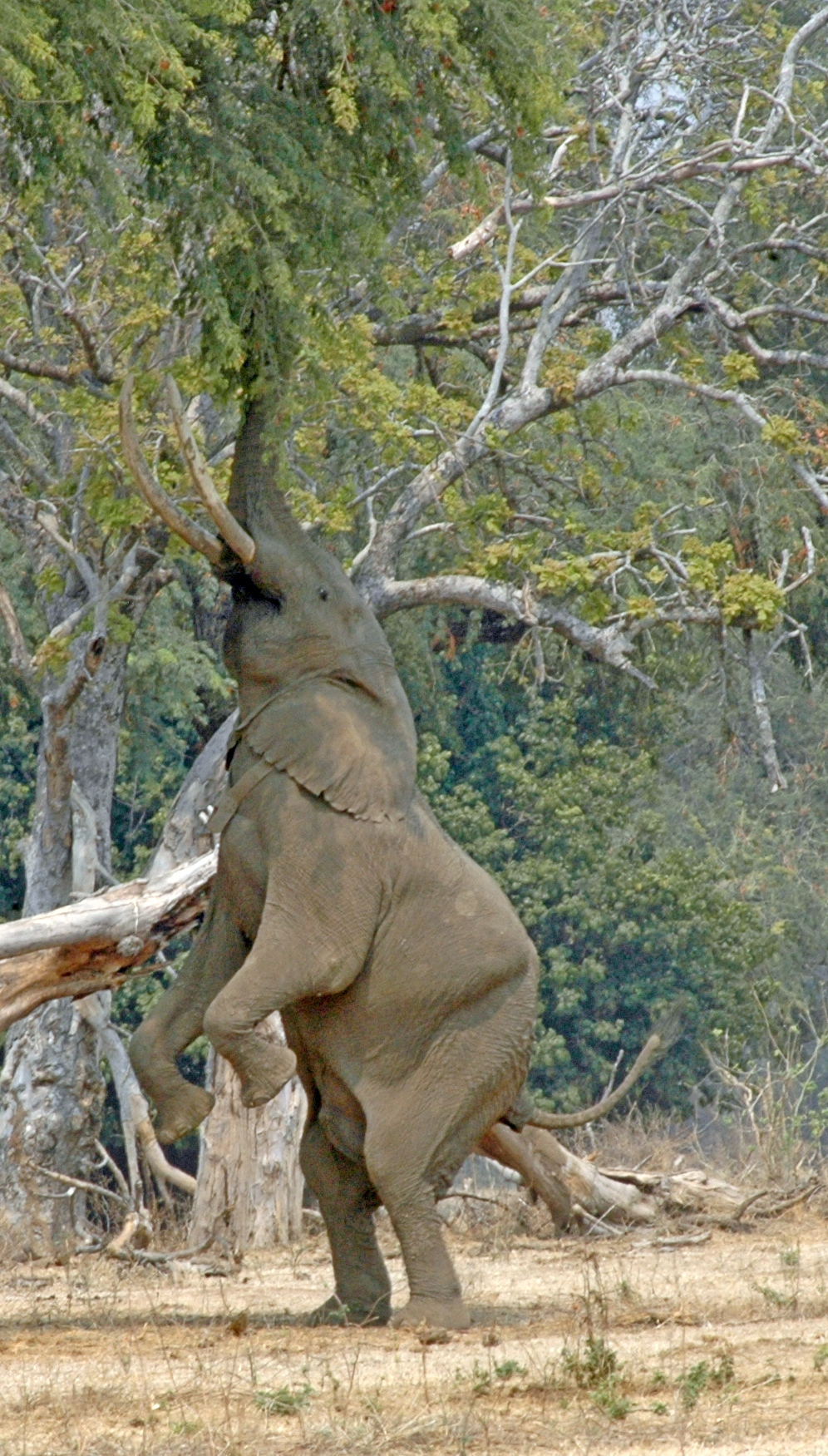 Elephant bull in Mana Pools Game Reserve, Zimbabwe