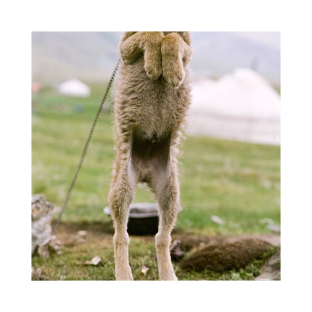 I promise this is a photo of a Mongolian wolf puppy.  It independently decided this was its best angle.