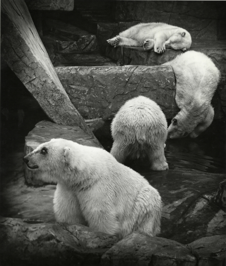Polar Bears , 1930s  Gelatin silver photograph.  12 1/4 x 10 1/2 inches