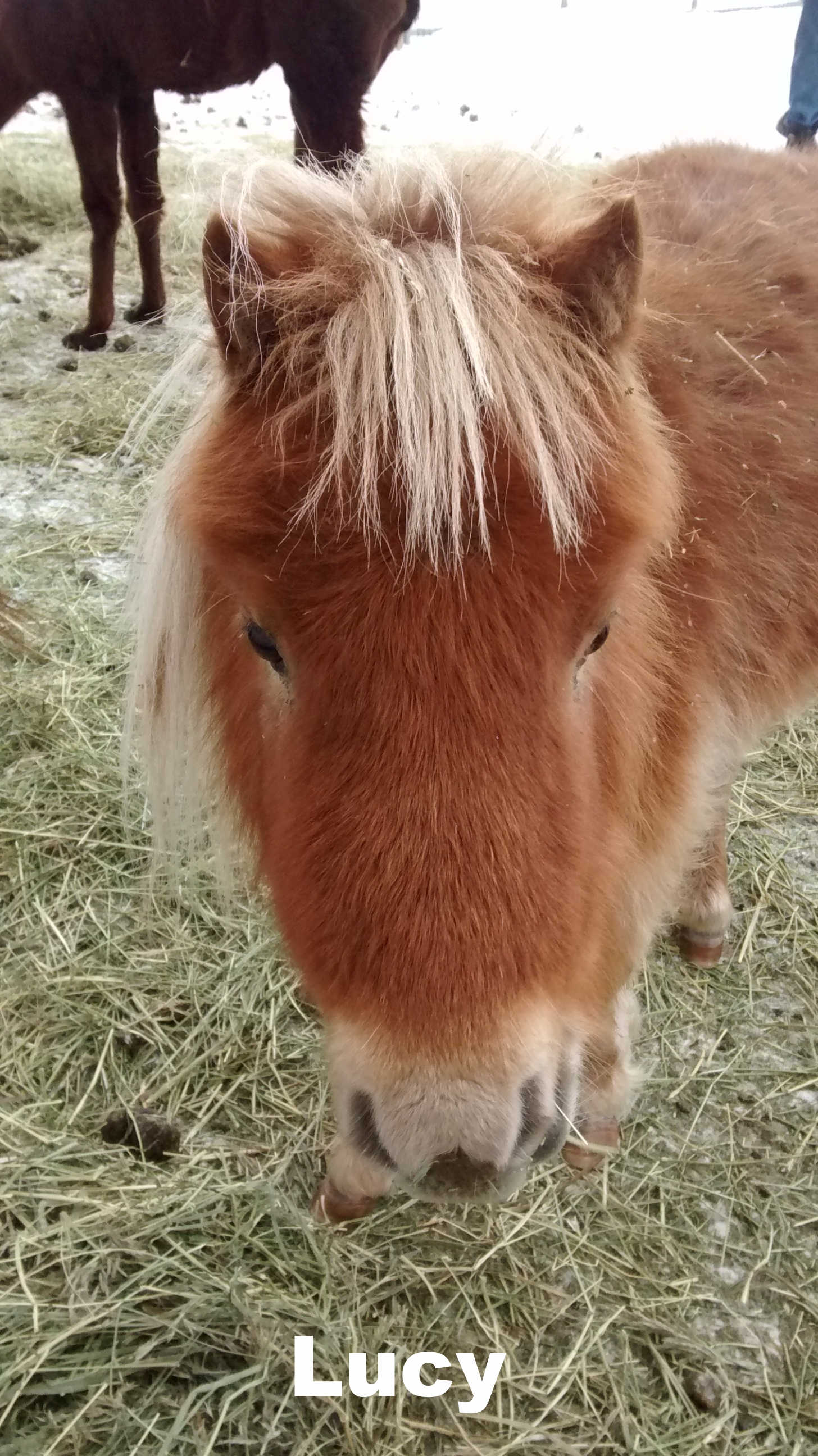 lucy the miniature horse.jpg