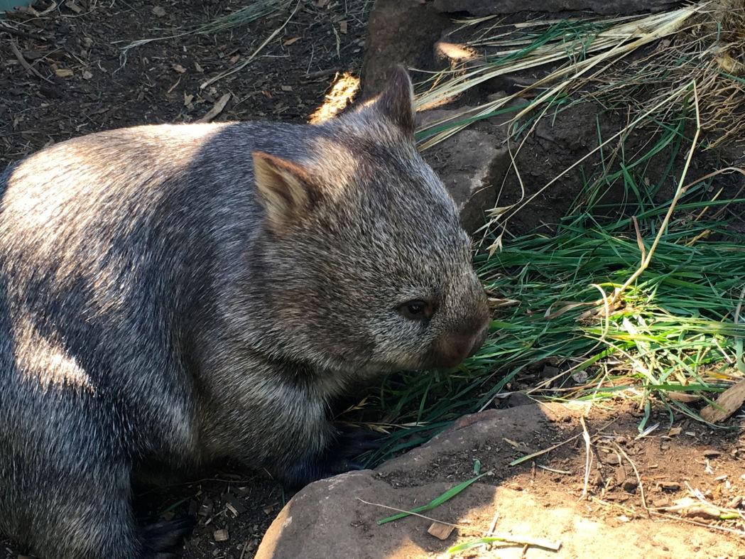 Wombat. Photo: Anders Buch-Larsen