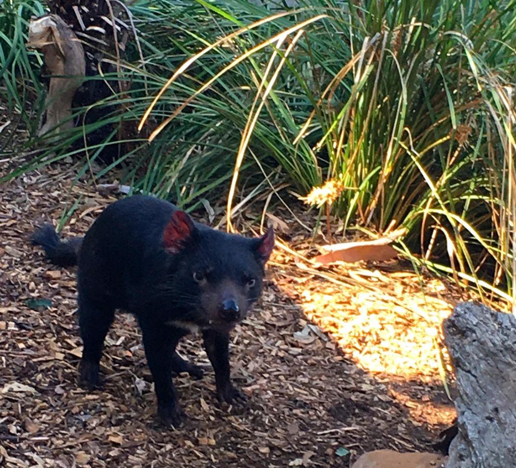 Tasmanian devil. Photo: Anders Buch-Larsen