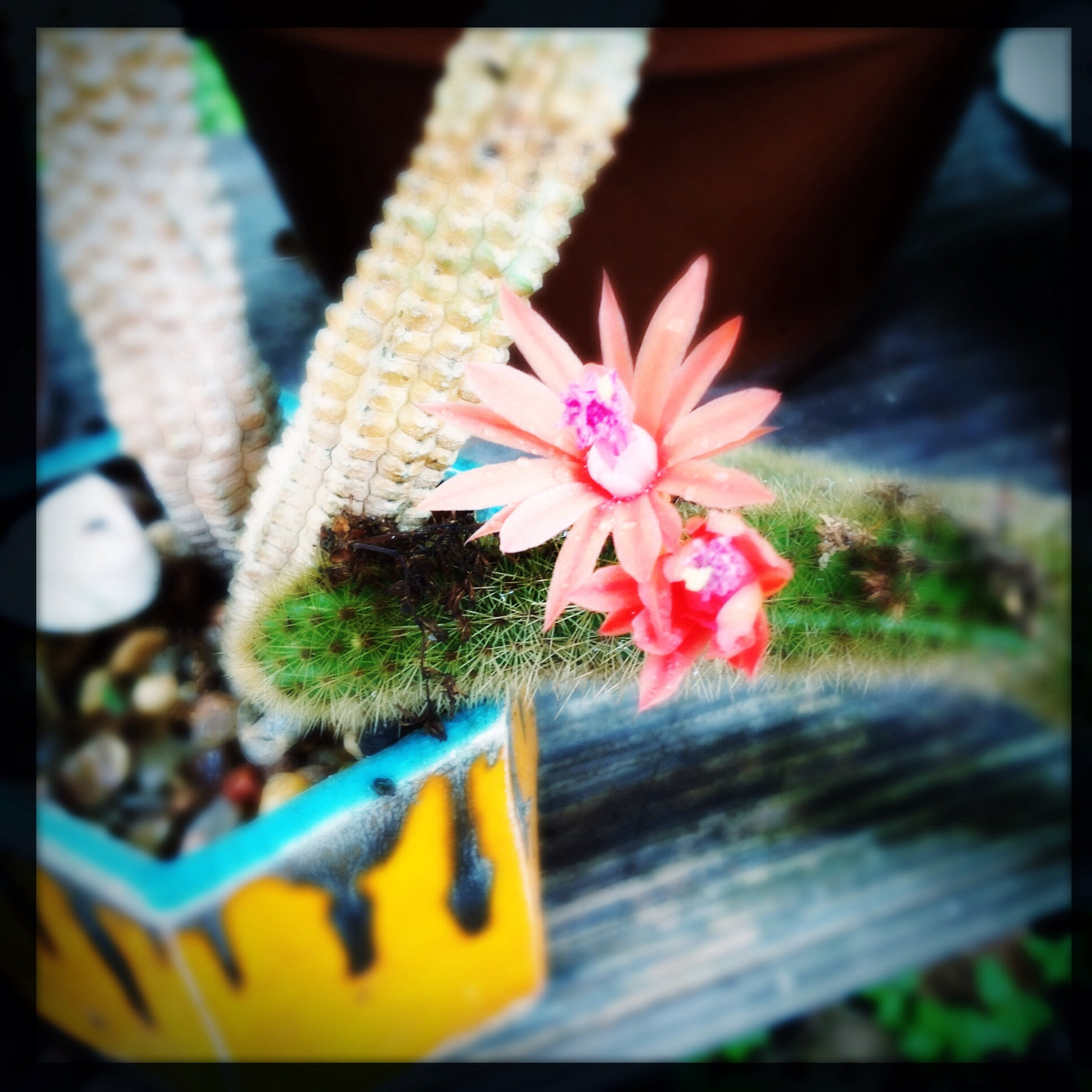 cactus flower and one of my old pots
