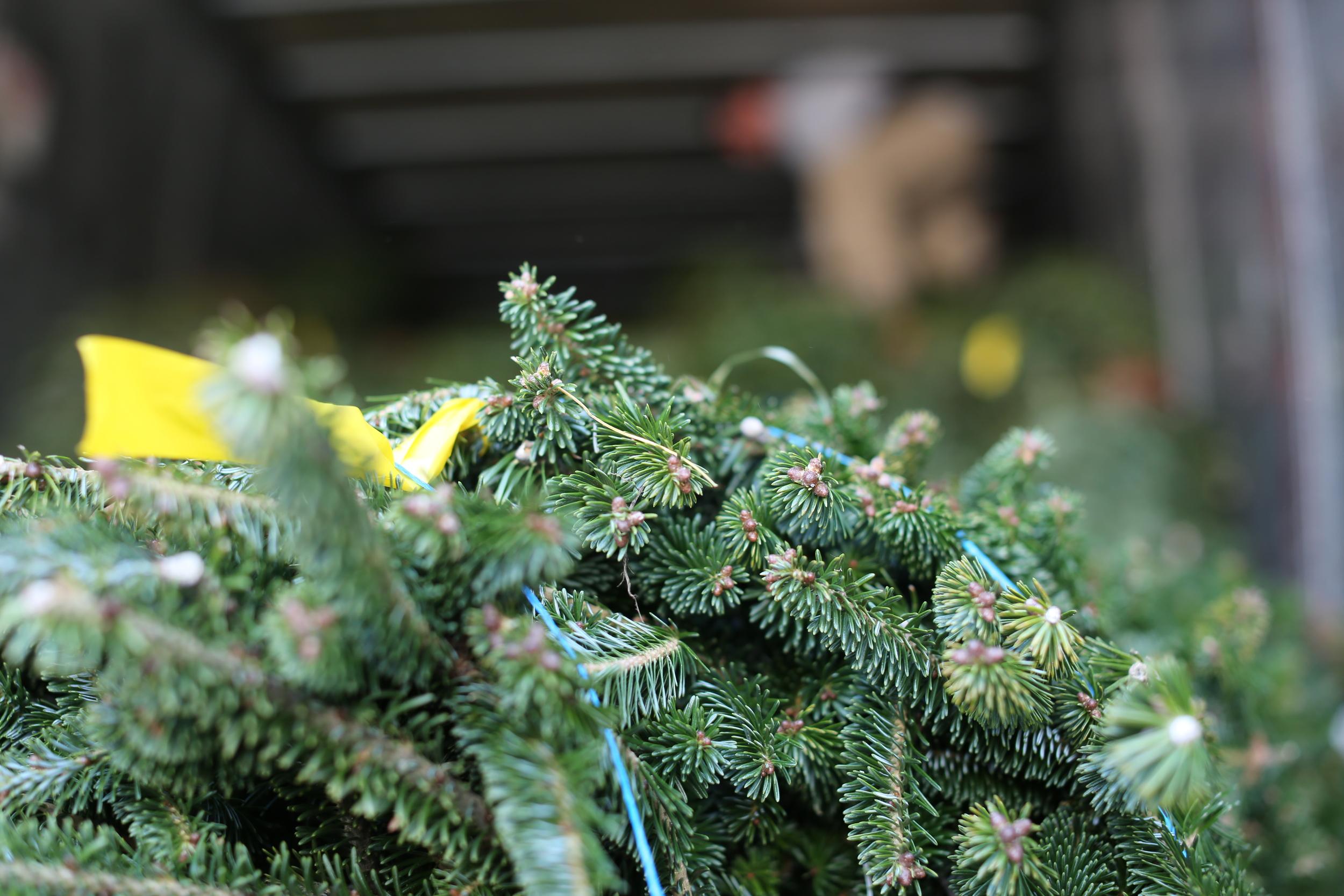 Cut Down Christmas Tree Near Me.Cedar Grove Christmas Trees