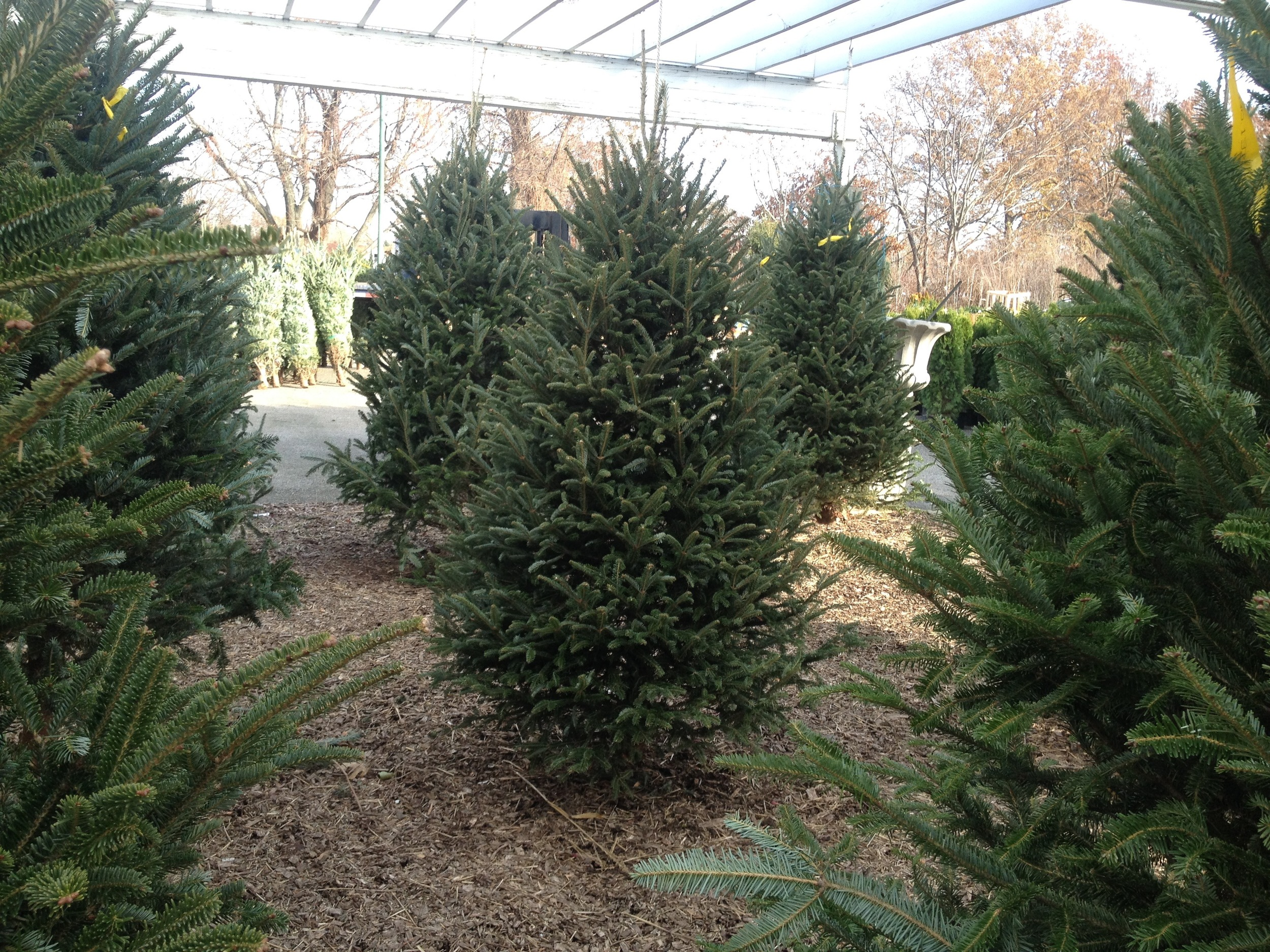 Fraser Fir - North Carolina, USA