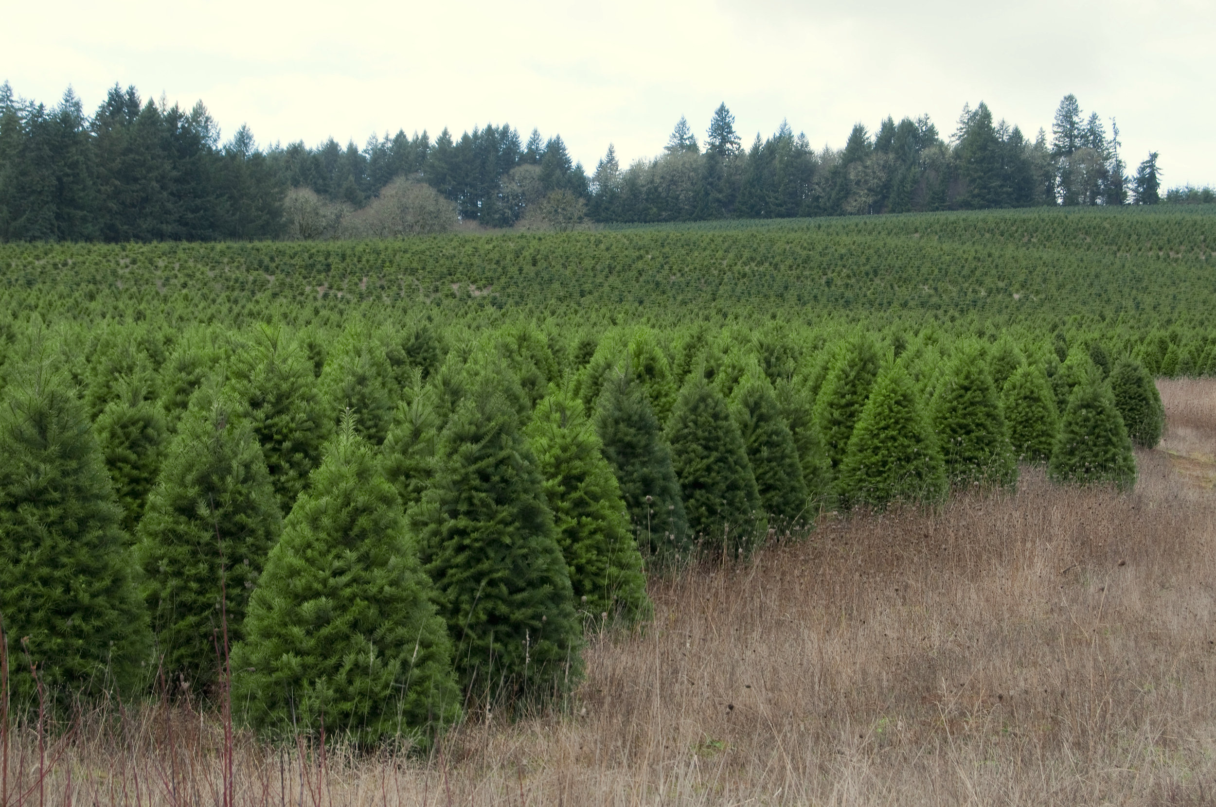 Cut Your Own Christmas Tree Near Me.Cedar Grove Christmas Trees