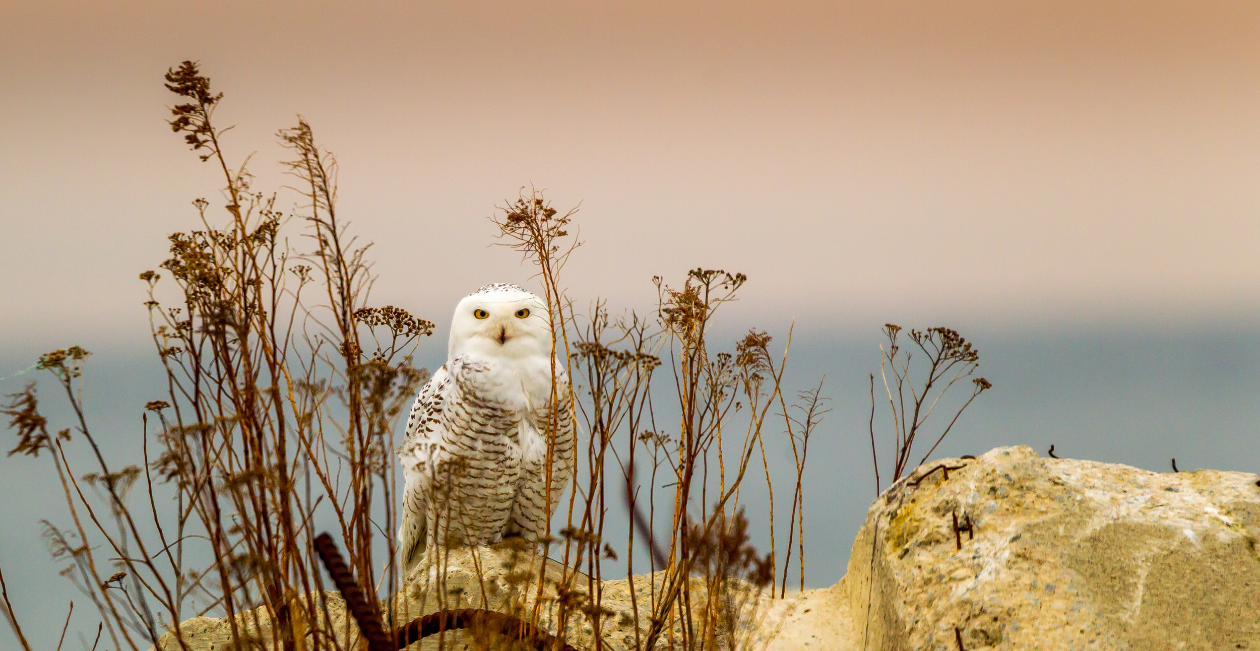 Snowy White Owl shot at Tommy Thompson Park