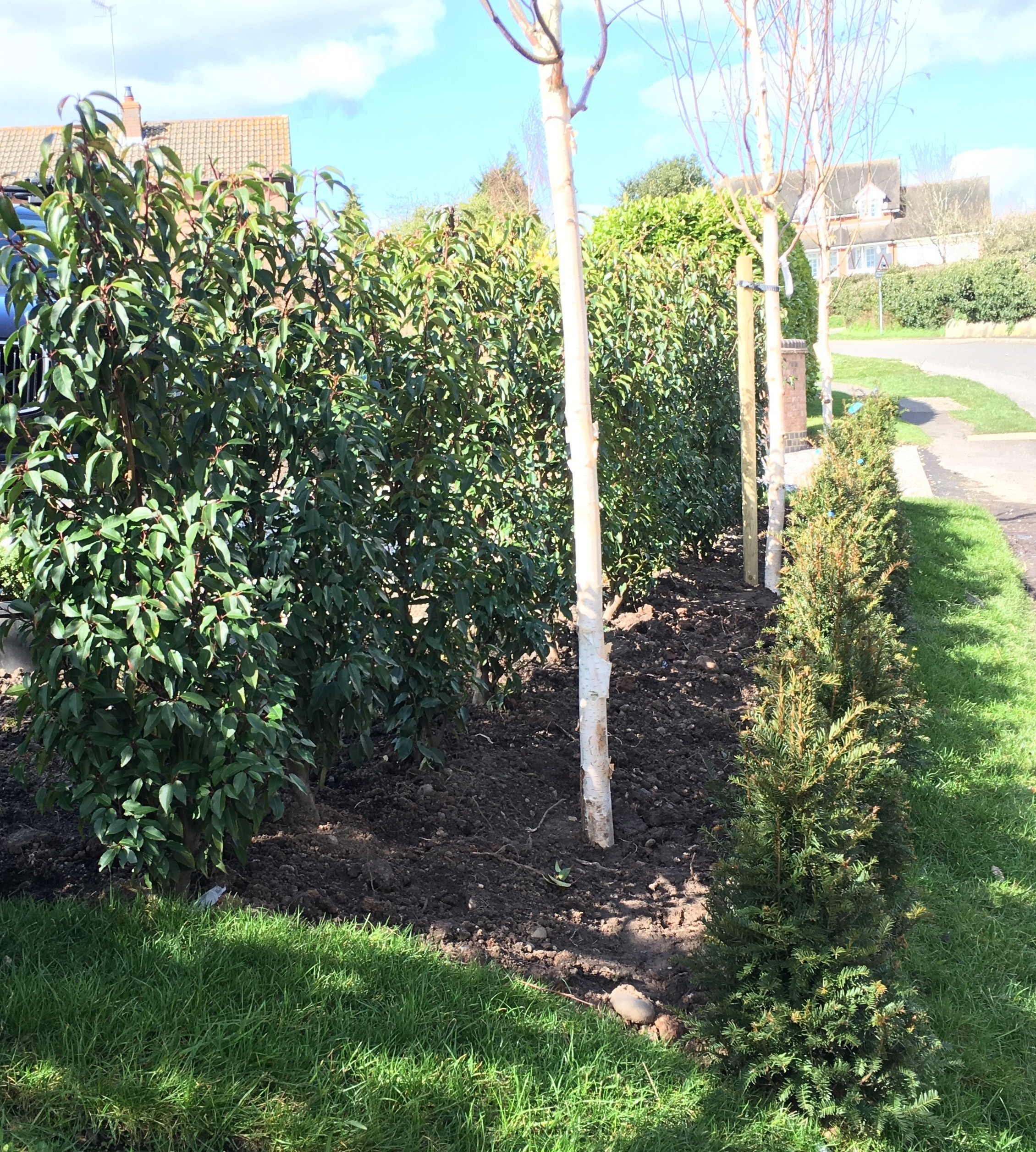 double hedge and silver birches.jpg