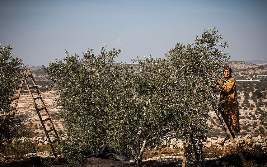 Palestinian Woman Harvesting her Olive tree