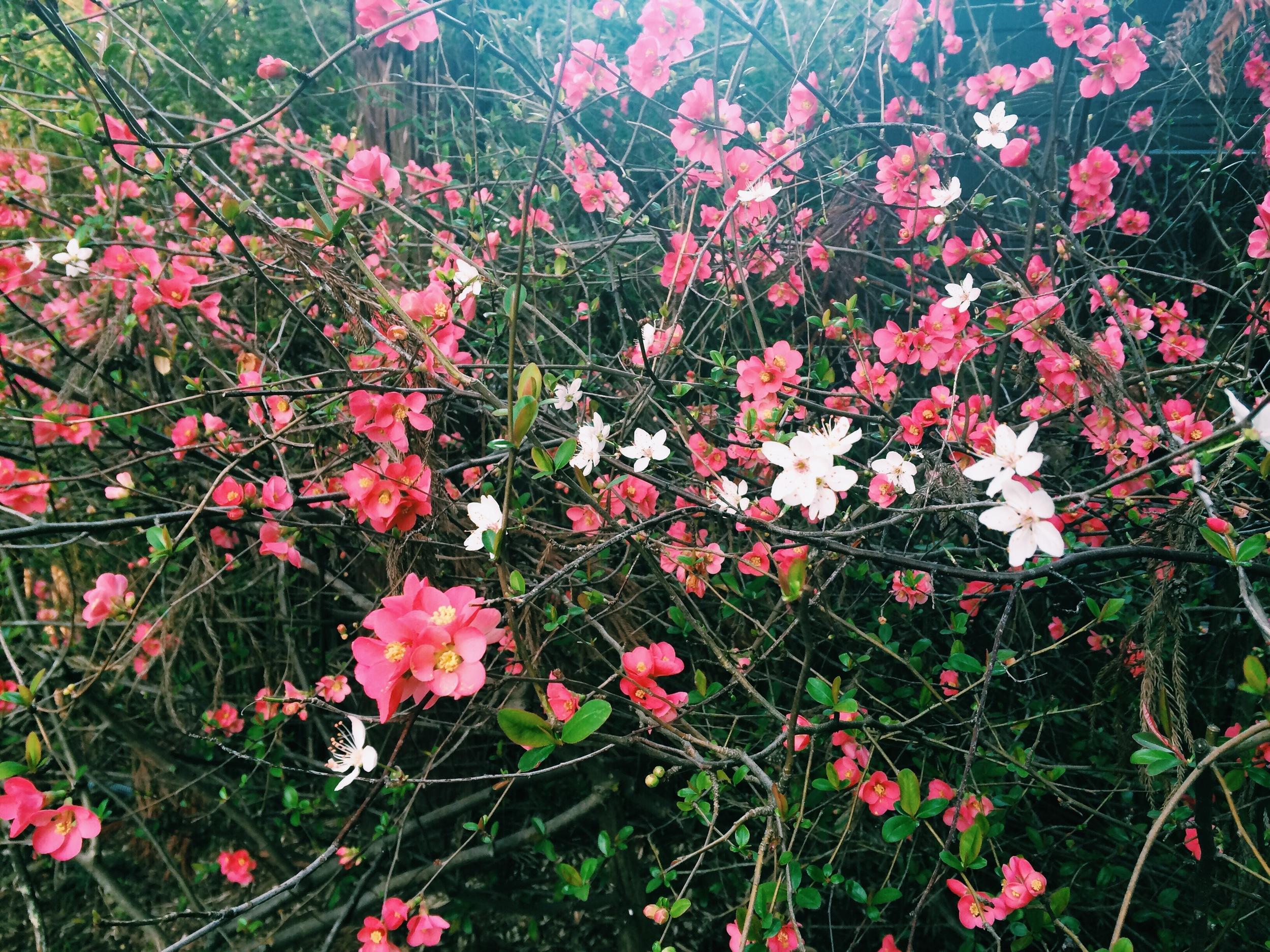 pink flowering quince & plum tree