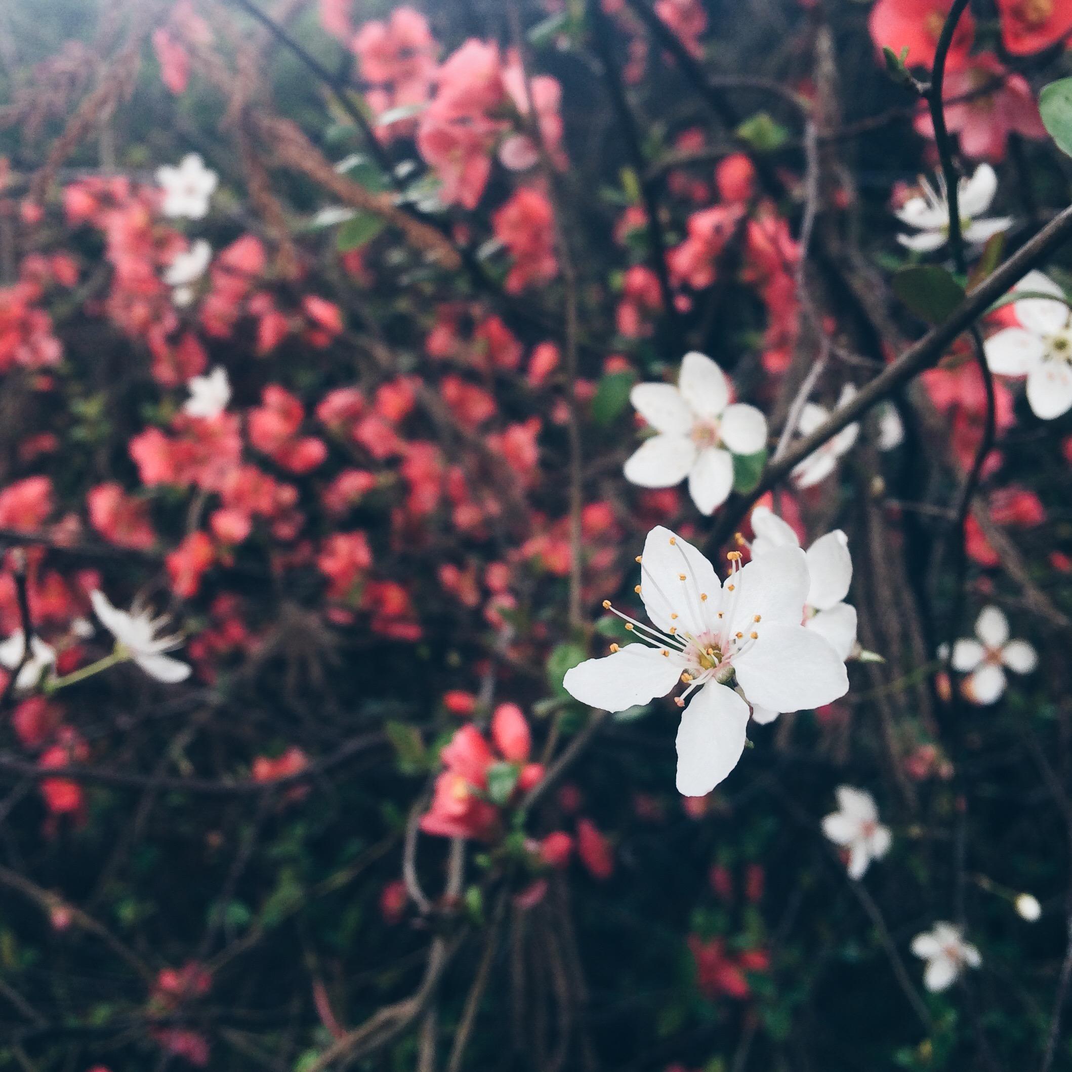 flowering plum tree (white)