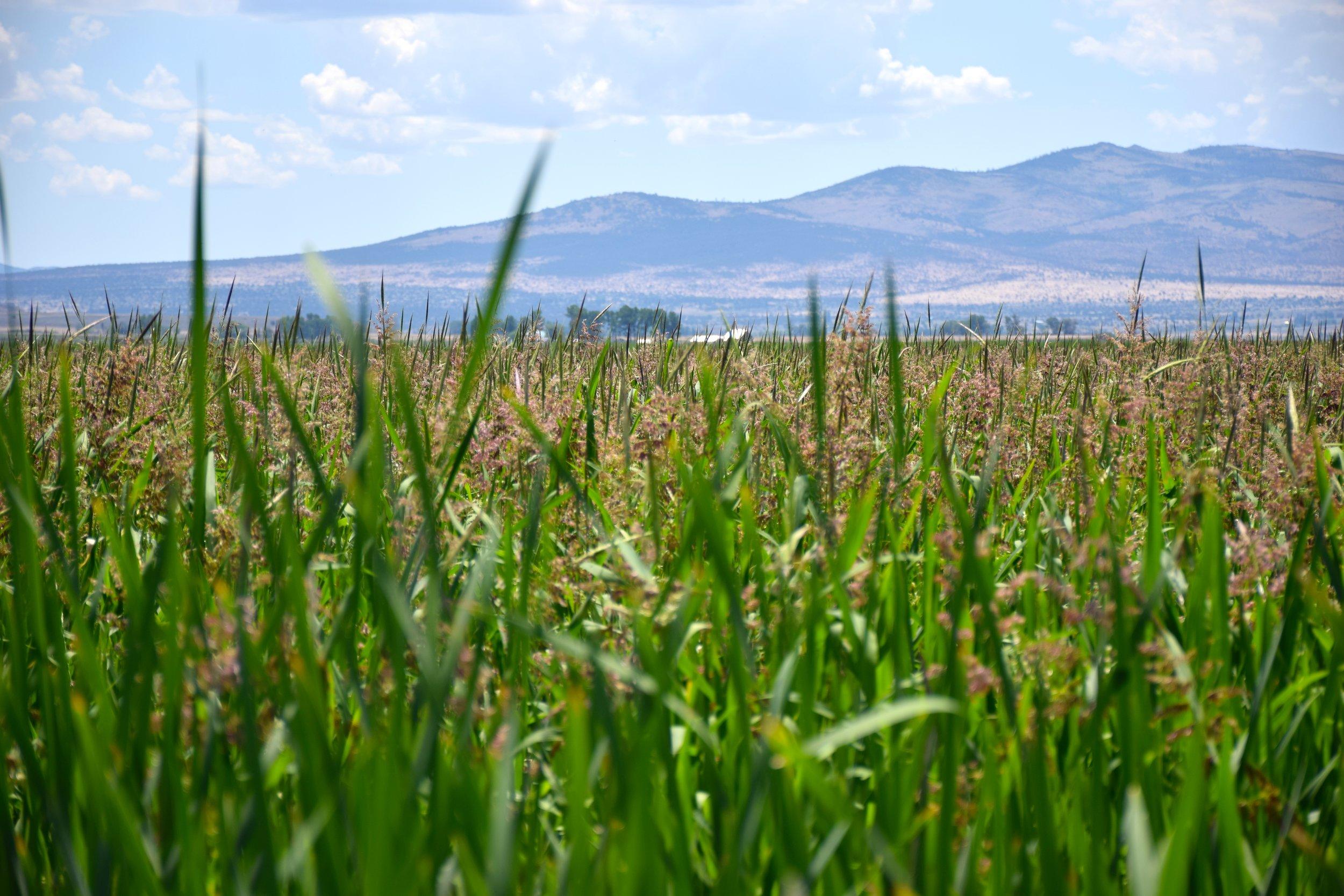 Wild Rice -