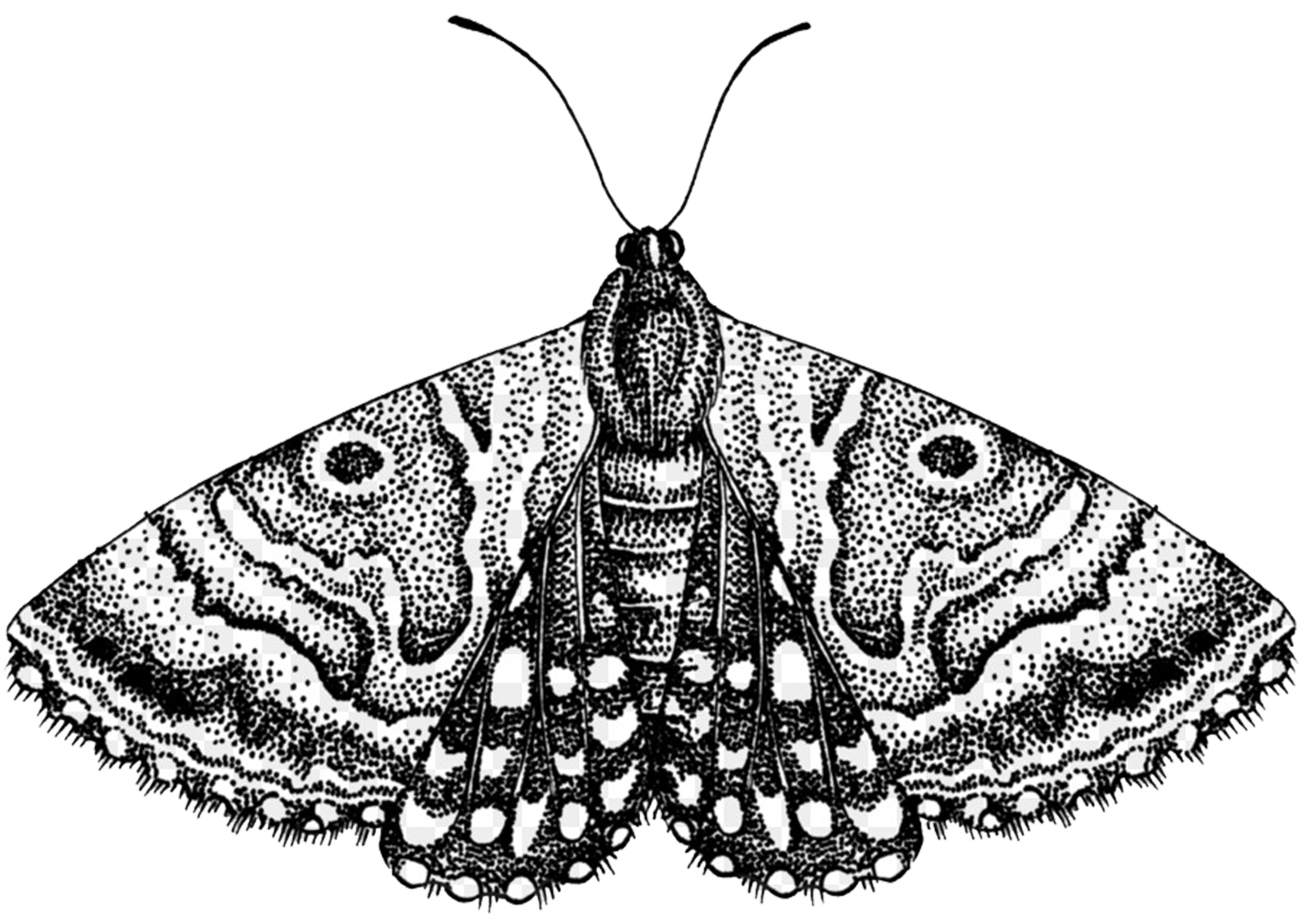 just moth.png