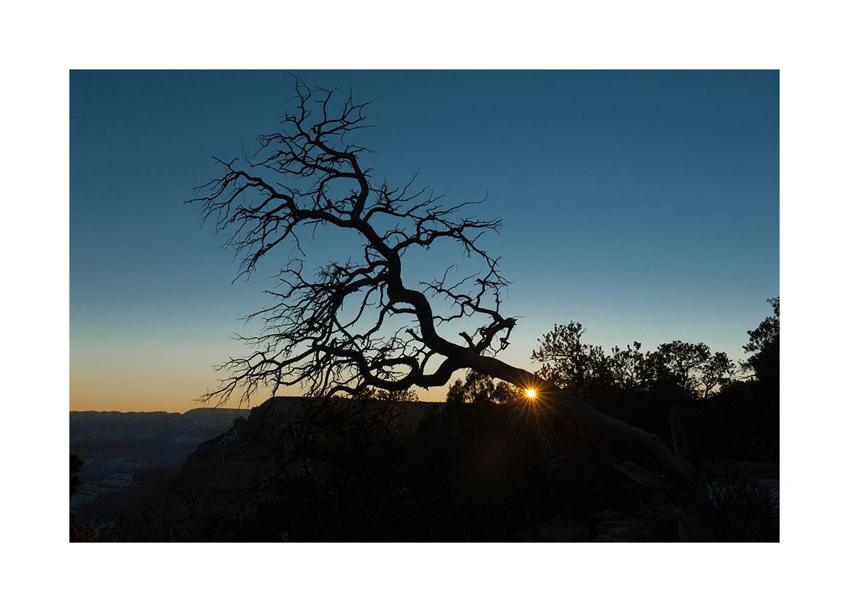 grand-canyon-pinon-tree.jpg
