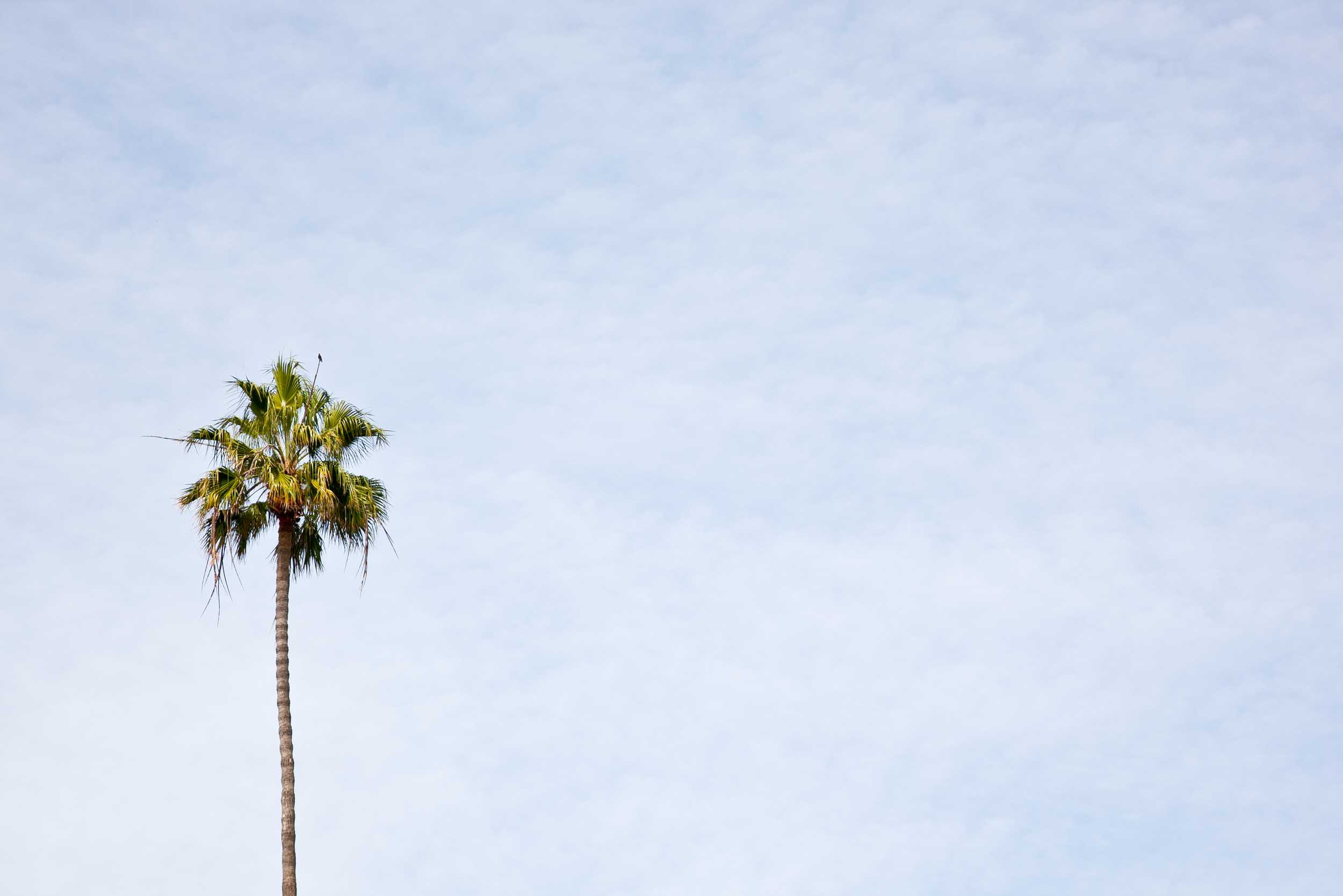 The quintessential Los Angeles palm tree
