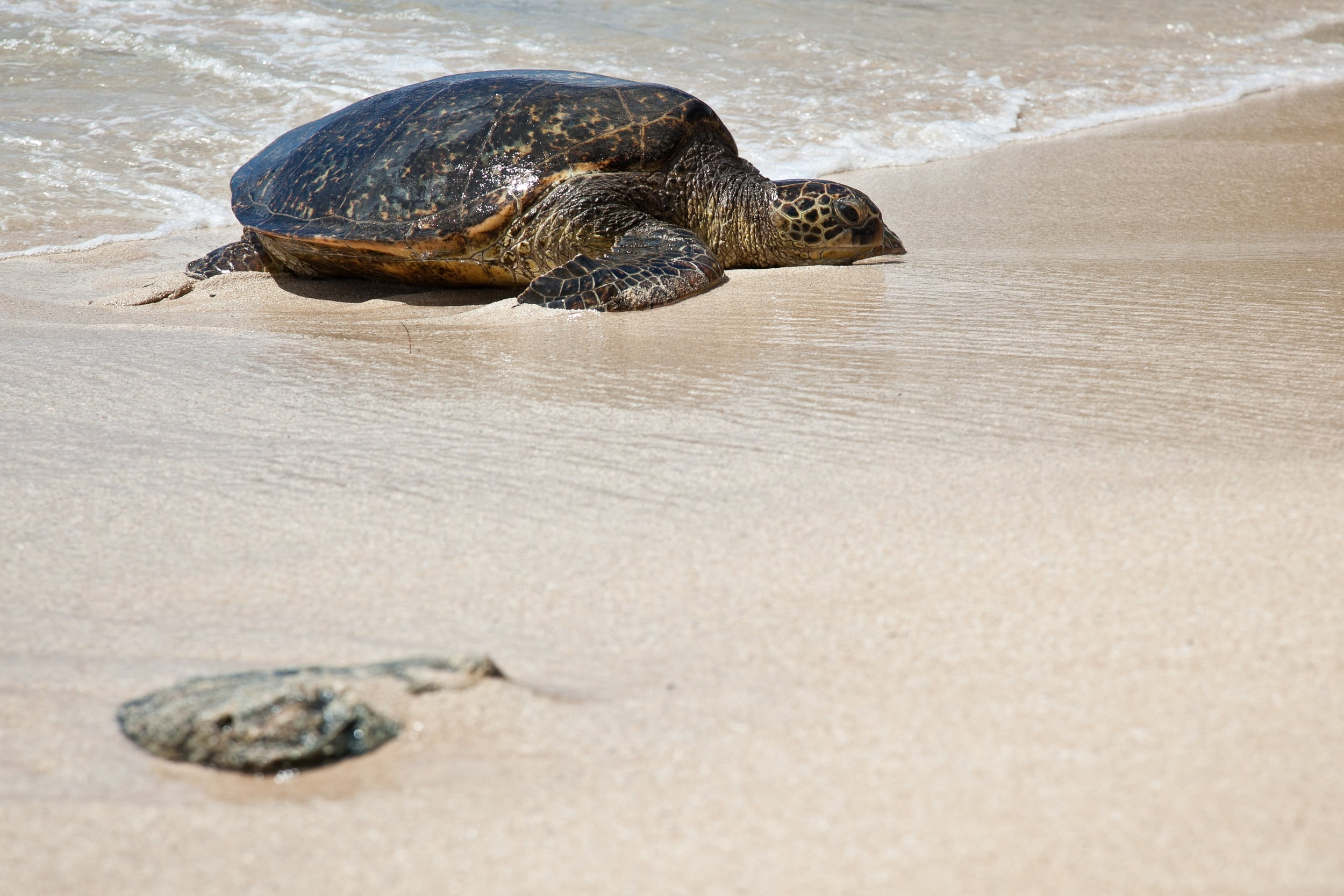 trisa-taro-laniakea beach-turtle-oahu-hawaii.jpg