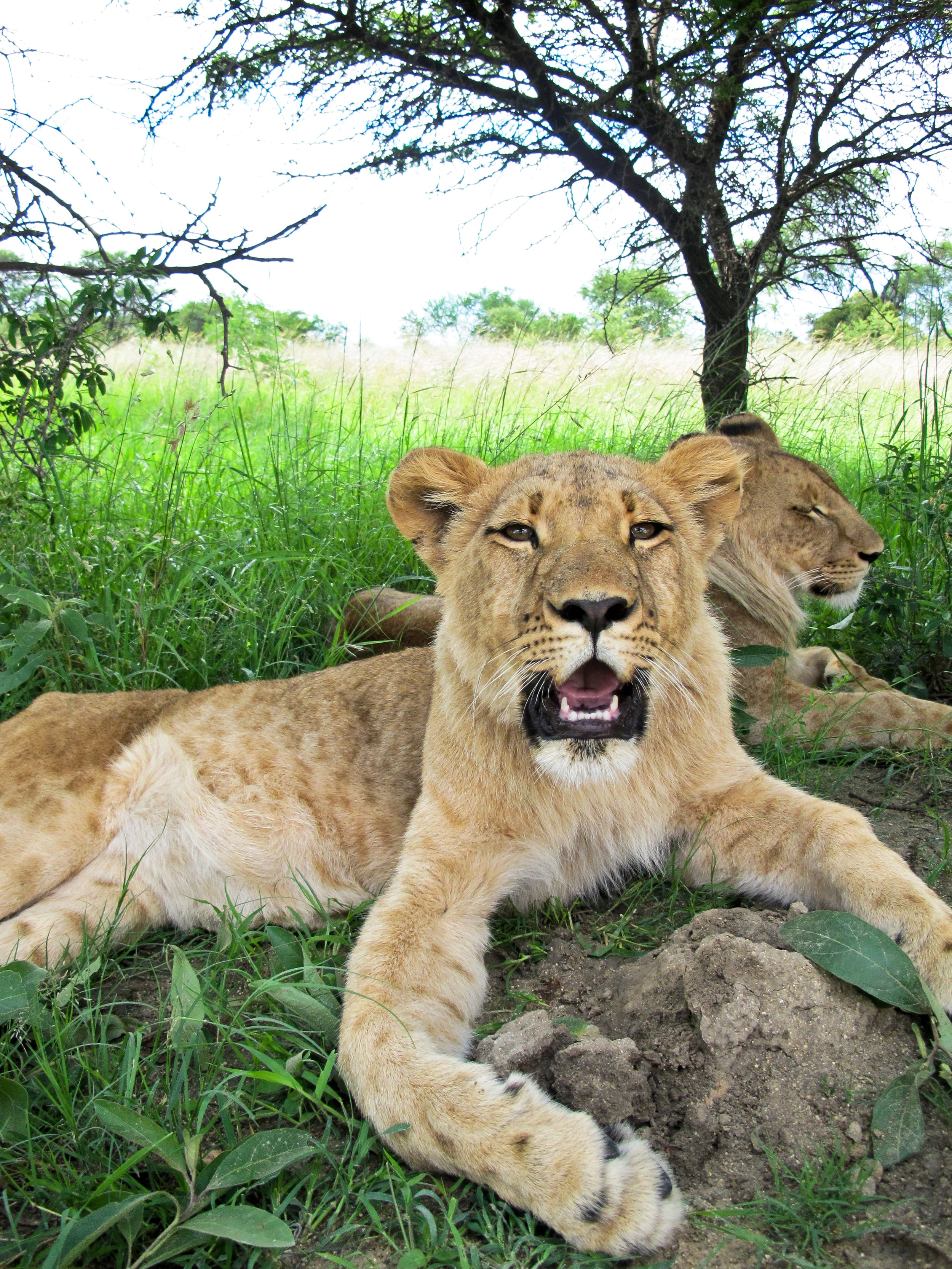 trisa-taro-lions-antelope-park-zimbabwe.jpg