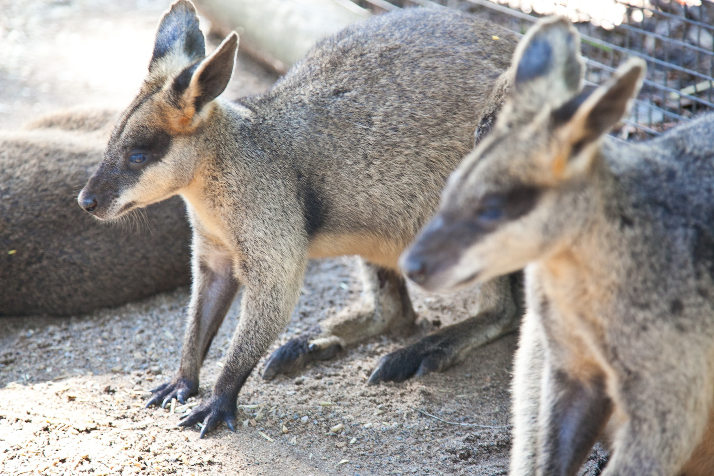 IMG_7651-featherdale-wildlife-park-wallaby-sydney-australia-trisa-taro.jpg