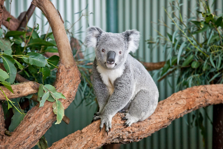 IMG_7646-featherdale-wildlife-park-koala-sydney-australia-trisa-taro.jpg