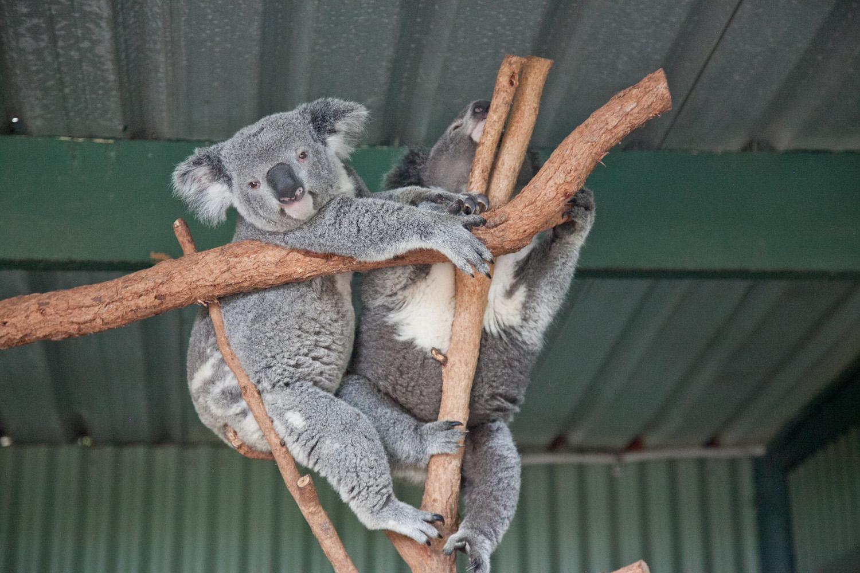 IMG_7694-featherdale-wildlife-park-koala-sydney-australia-trisa-taro.jpg