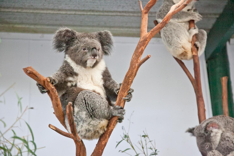 IMG_7710-featherdale-wildlife-park-koala-sydney-australia-trisa-taro.jpg