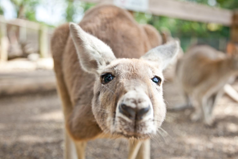 IMG_7762-featherdale-wildlife-park-kangaroo-sydney-australia-trisa-taro.jpg