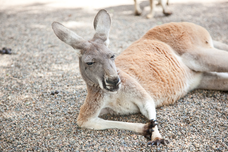 IMG_7764-featherdale-wildlife-park-kangaroo-sydney-australia-trisa-taro.jpg