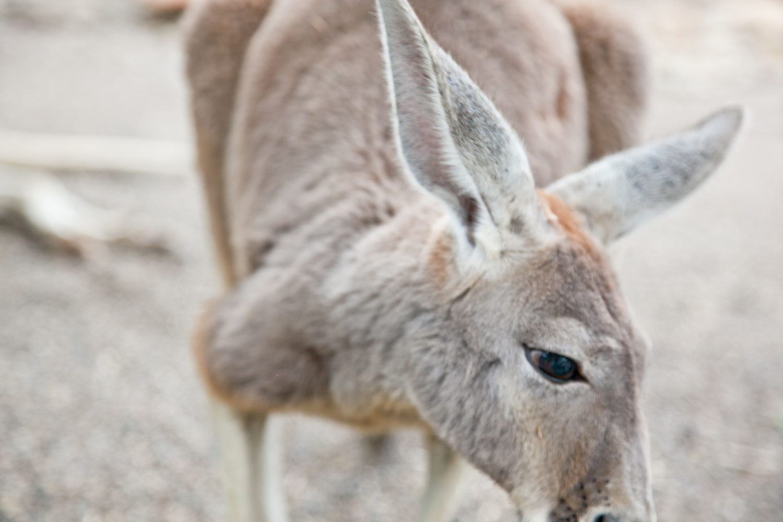 IMG_7774-featherdale-wildlife-park-kangaroo-sydney-australia-trisa-taro.jpg