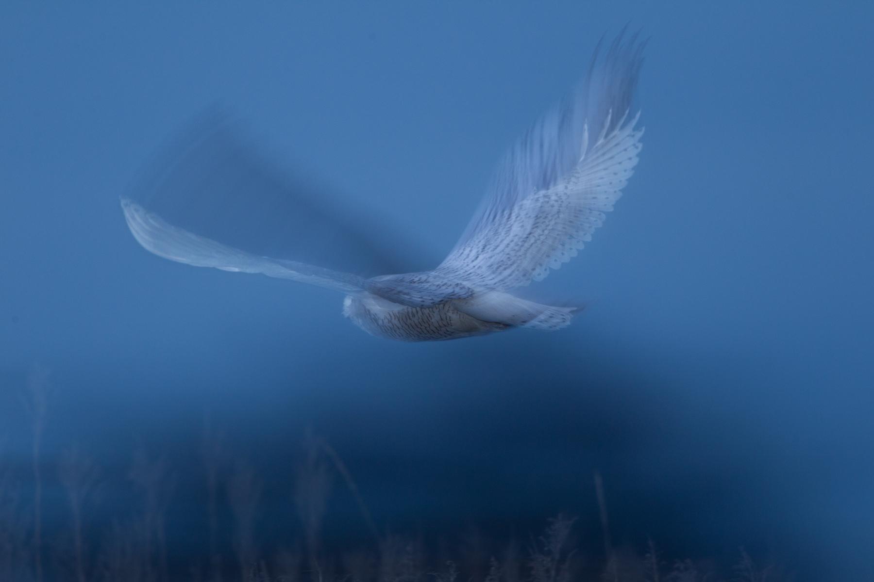 A Snowy Owl flies through a salt marsh at Boundary Bay, B.C, Canada.  Image ©Connor Stefanison