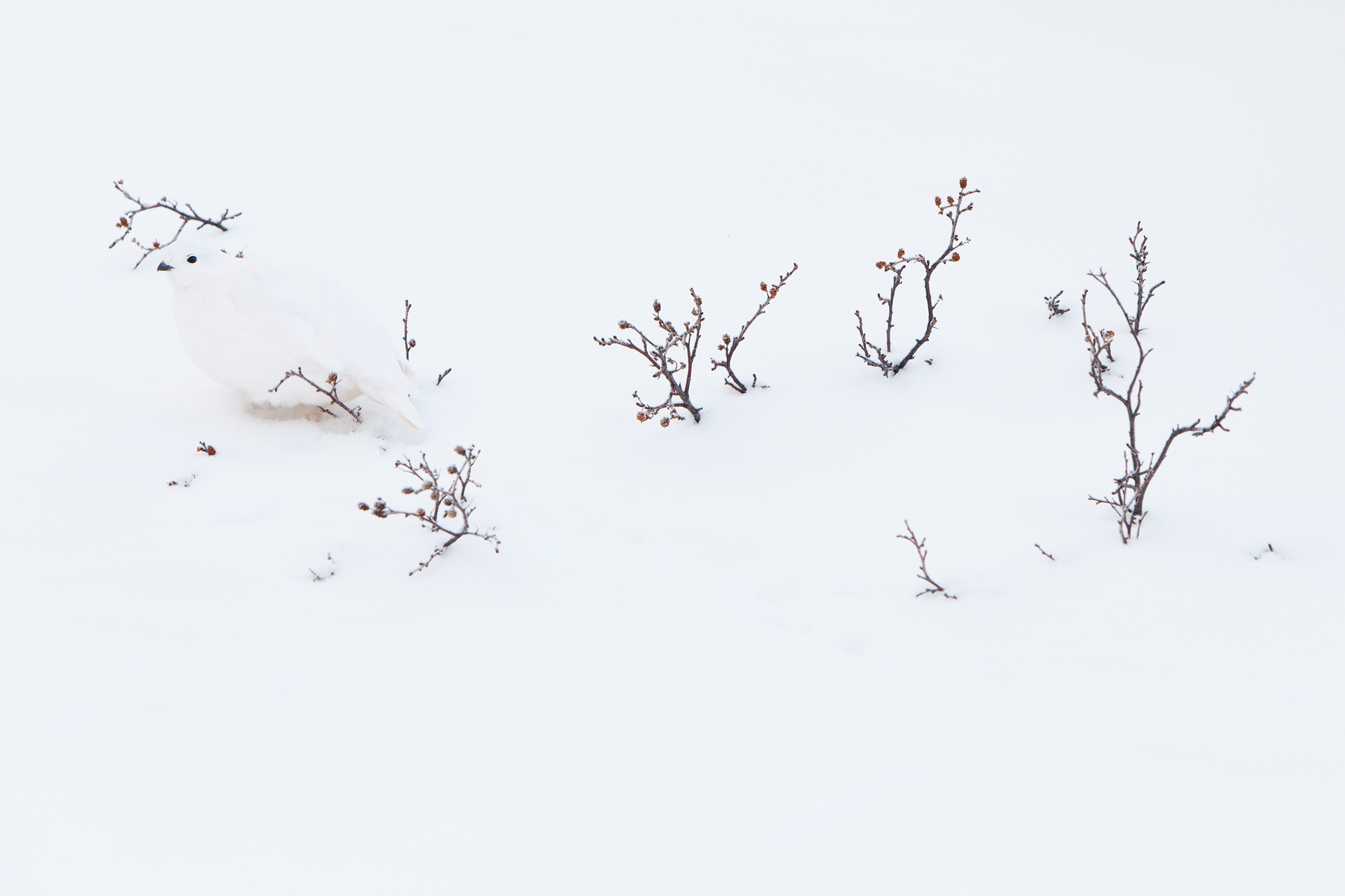 A White-tailed Ptarmigan blends into it's surroundings in Jasper National Park, Canada.  Image ©Connor Stefanison