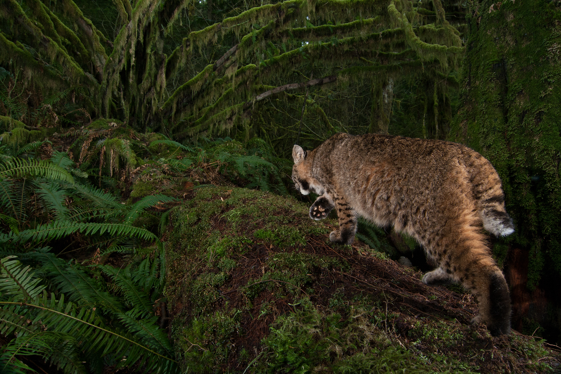 This Bobcat took this image of itself by walking through the infrared beam of my remote camera trap. Taken in Maple Ridge, B.C, Canada. Subject attracted with raw deer bones.  Image ©Connor Stefanison