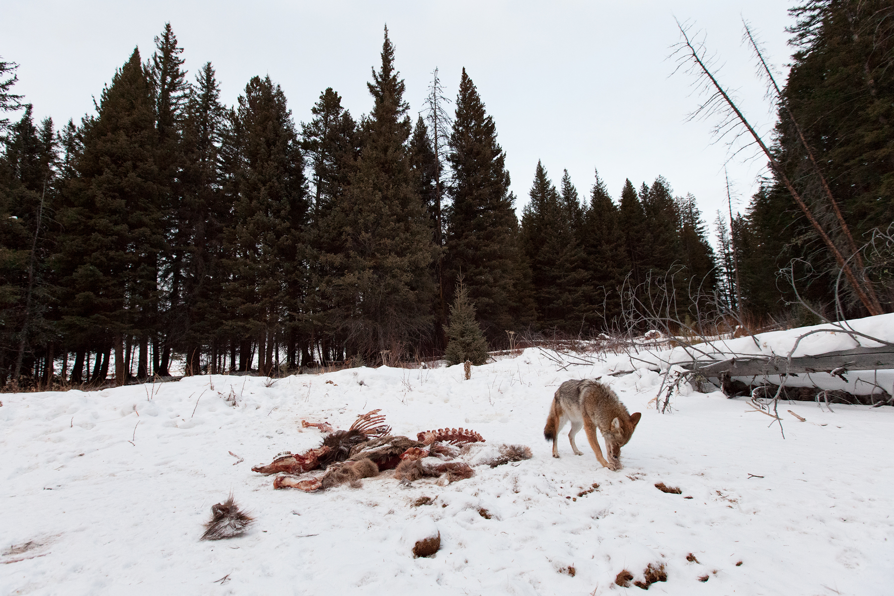 A Coyote scavenges a cow Elk carcass on a mild December day. Taken in Montana, USA.   Image ©Connor Stefanison