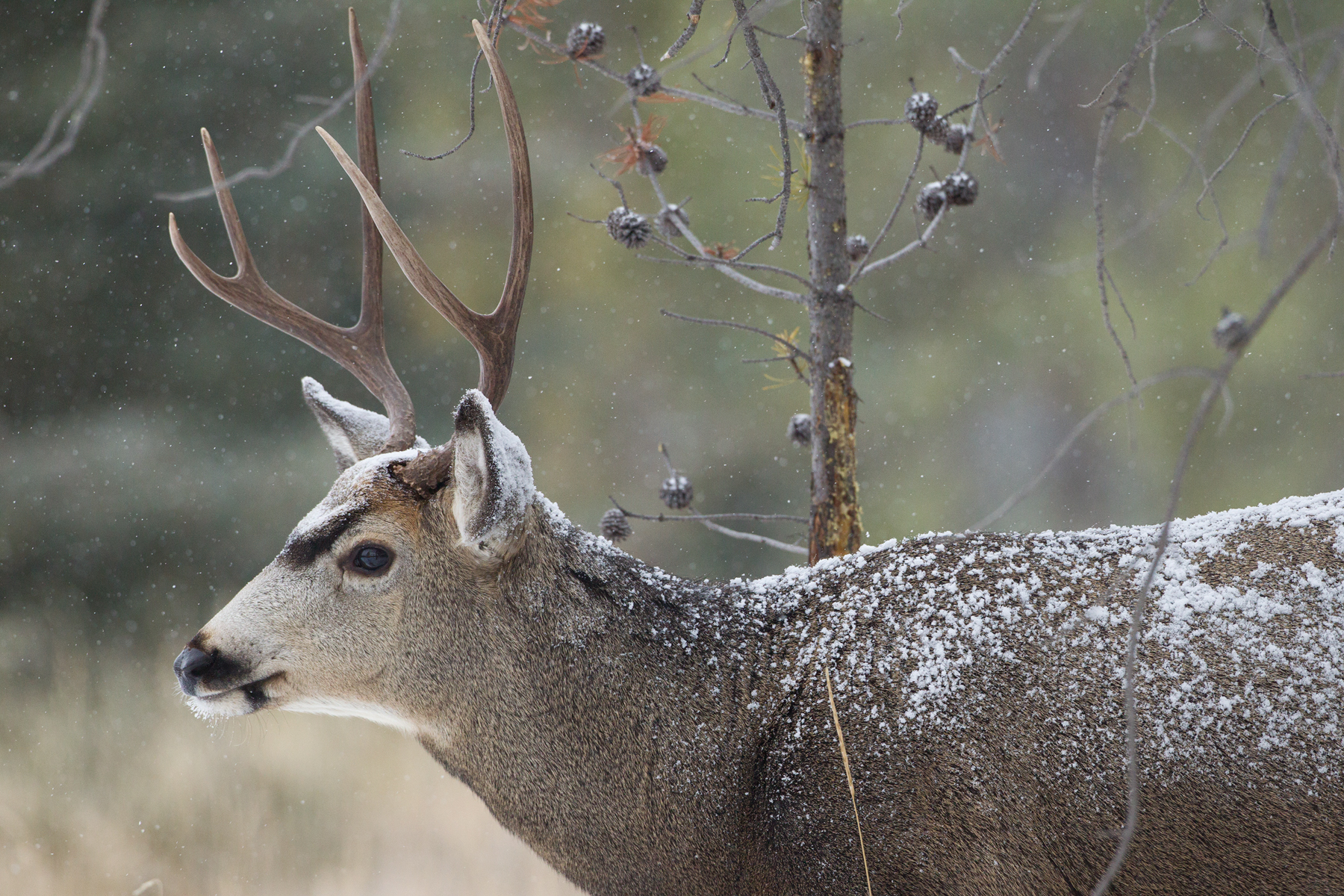 I found this Mule Deer buck taking advantage of the abundant feed in a minimally snow covered forest in Jasper National Park, Canada.  Image ©Connor Stefanison
